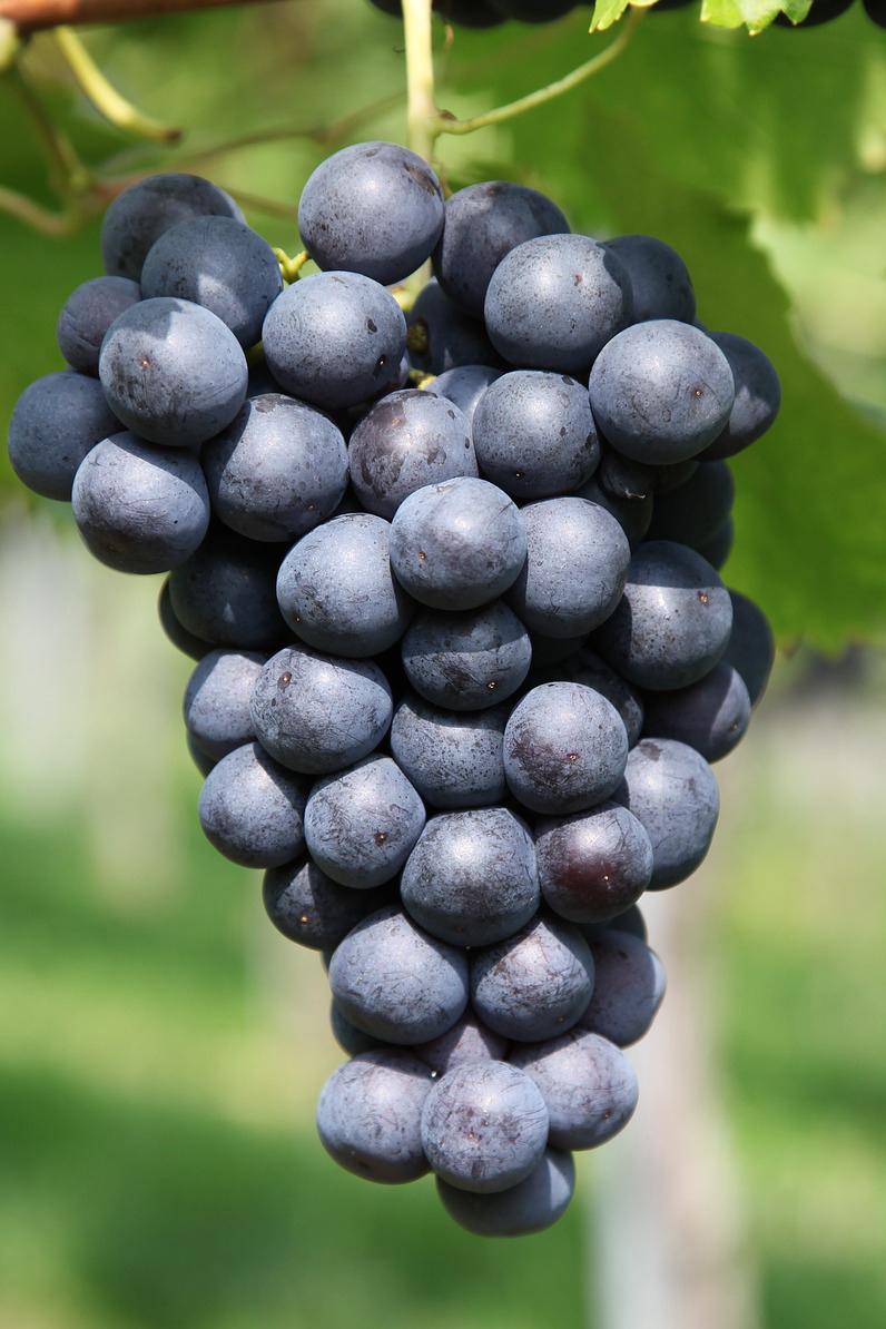 grape-2911039_1920 copia