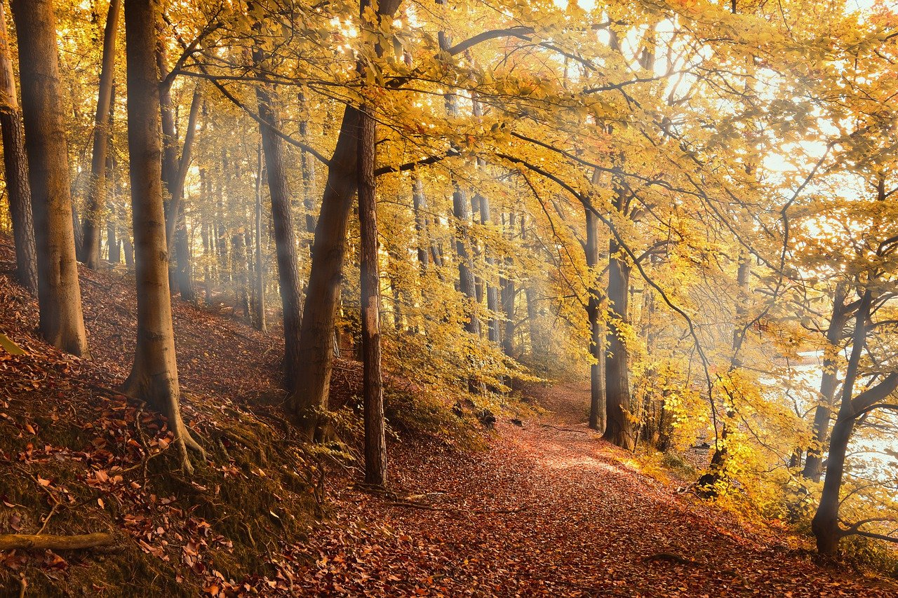 autumn forest, forest, fall foliage
