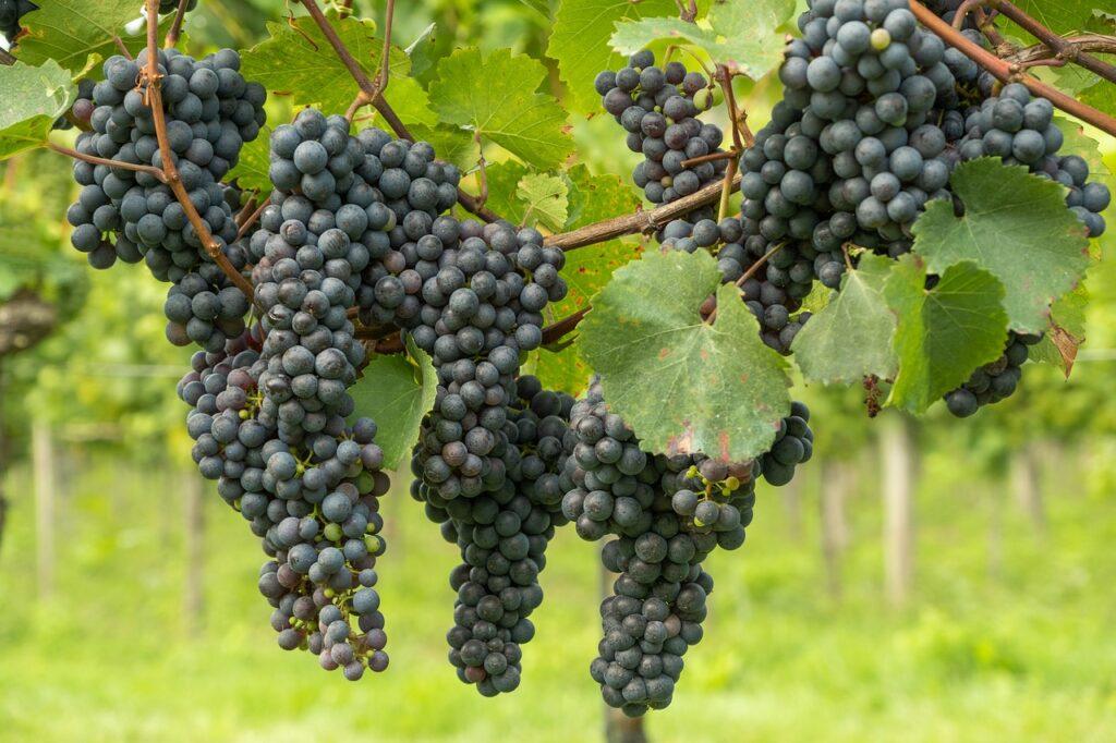 grapes, vines, fresh grapes